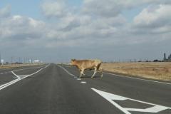 Коровы на дороге - обычное дело для Астраханского края