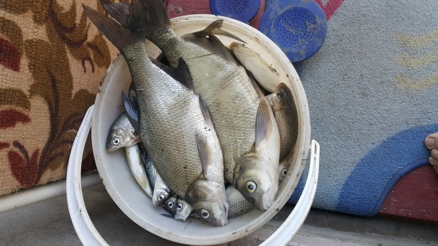 рыба в ведре