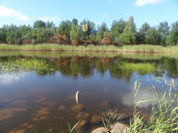 Плотва в Новодладожском канале