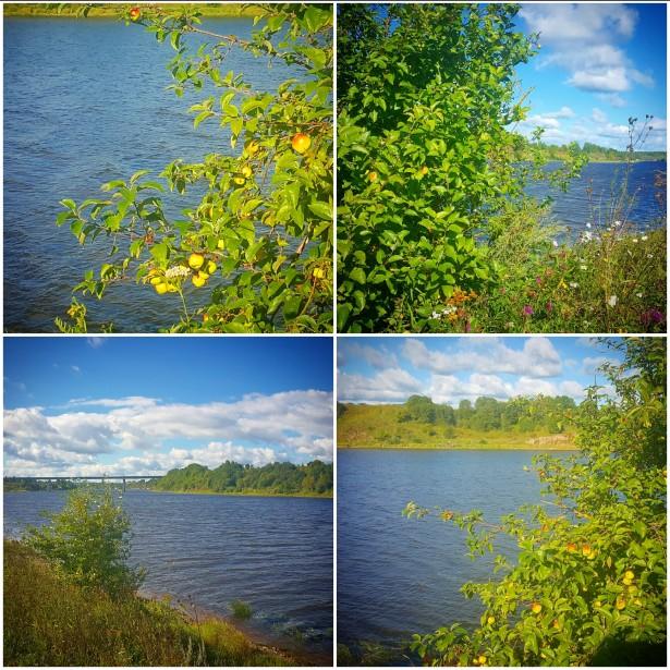 Яблоня на берегу реки Волхов