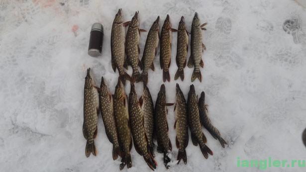 Щуки на льду озера