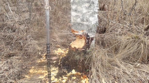 Погрызенное бобрами дерево