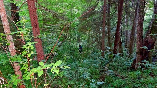 Спуск к реке по лесу