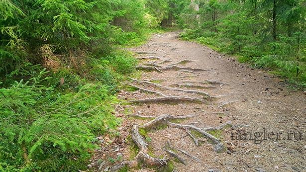 Корни деревьев на тропинке
