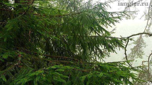 капли дождя на ёлке