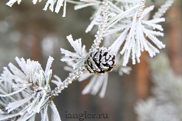 шишки на сосне зимой