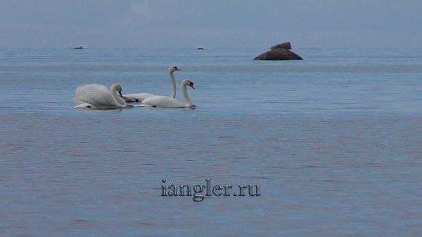 лебеди на Финском заливе