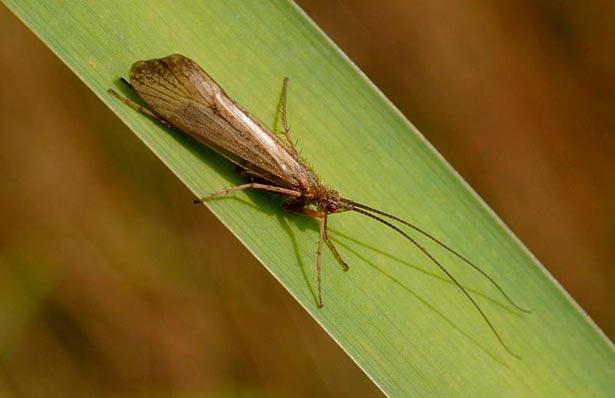 Ручейник взрослое насекомое