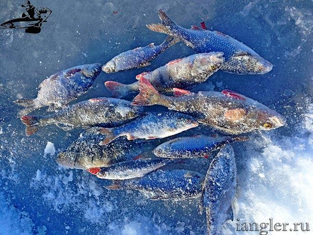 рыба в кобоне
